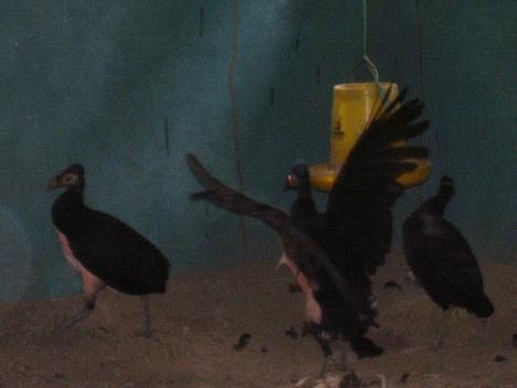 Mengenal Burung Maleo Dewaarka